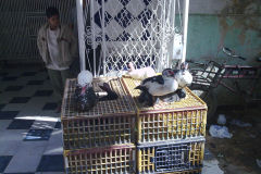 Ducks for sale in Gizah Cairo Egypt