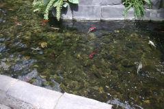 Koi fish inside the Gaylord Palms, Orlando, Florida, USA