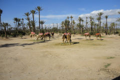 Camels and palms in Marrakesh, Morocco
