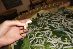 Living silk worms in Suzhou Silk Museum China
