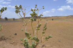 A strange plant at the road between Zagora and Merzouga, Morocco