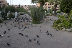 Pigeons in Marrakech, Morocco