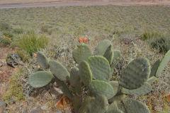 Plants around Legzira near Sidi Ifni, Morocco