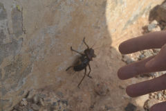 A large insect at the road between Sidi Ifni and Tafraoute, Morocco