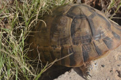 A turtle at the road between Sidi Ifni and Tafraoute, Morocco