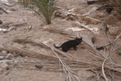 A cat east of Tafraoute in the Anti Atlas, Morocco