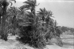 Palms at the Wadi Draa near Mhamid, Morocco