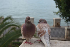 Two pigeons in Syracuse on Ortygia, Sicily, Italy