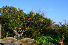 Orange trees in the garden of our house in Sicily, Italy
