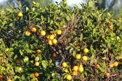 Ripe oranges in the garden of our house in Sicily, Italy
