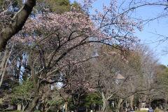 Flowering tree in spring in Tokyo, Japan