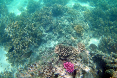 Corals at Turquoise Beach in the Cape Range National Park at the Ningaloo Reef, Western Australia
