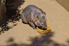 A wombat in the Taronga Zoo, Sydney, Australia