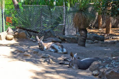 A kangaroo in the Taronga Zoo, Sydney, Australia