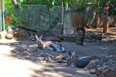 A kangaroo in the Taronga Zoo, Sydney, Australia
