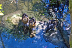 Ducks in the Taronga Zoo, Sydney, Australia
