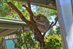 A koala in the Taronga Zoo, Sydney, Australia