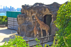 Giraffes in the Taronga Zoo, Sydney, Australia