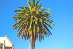 A nice palm at the harbour of Fremantle, Western Australia