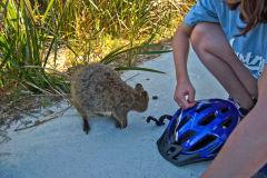 A quokka on Rottnest Island, Western Australia