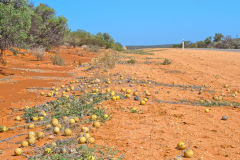 Toxic little melons at the roadside at Shark Bay in Western Australia