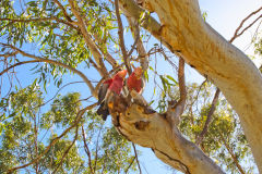 Two cockatoos at a campsite in Carnarvon, Western Australia