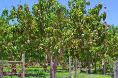 Mango trees in Carnarvon, Western Australia