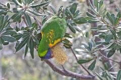 A parrot at South Head Sydney, Australia