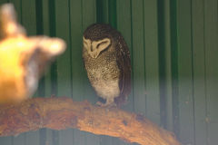 An Owl at the Featherdale Wildlife Park in Blacktown near Sydney, Australia