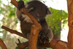 A Koala at the Featherdale Wildlife Park in Blacktown near Sydney, Australia
