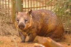 A wombat at the Featherdale Wildlife Park in Blacktown near Sydney, Australia