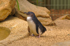 A little penguin at the Featherdale Wildlife Park in Blacktown near Sydney, Australia