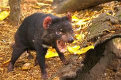 A Tasmanian Devil at the Featherdale Wildlife Park in Blacktown near Sydney, Australia