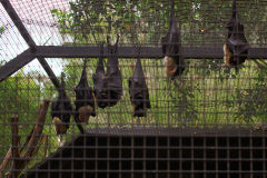 Bats at the Featherdale Wildlife Park in Blacktown near Sydney, Australia