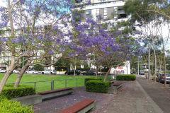Flowering Jacaranda in spring in Sydney, Australia