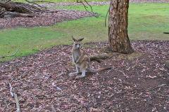 A kangaroo in Tasman Devil Unzoo on Tasman Peninsula Tasmania.