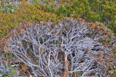 Plant near Rodway Range in Mount Field National Park Tasmania