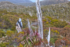 Giant Grass Tree (Richea pandanifolia) on Roadway Range in Mount Field National Park Tasmania