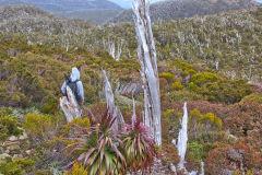 Giant Grass Tree (Richea pandanifolia) on Roadway Range in Mount Field National Park Tasmania
