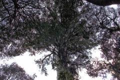Giant eucalyptus (Eucalyptus regans) in Mount Field National Park Tasmania