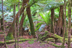 Fern tree forest in Mount Field National Park Tasmania