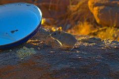 Desert mice  at Valley of a Thousand Hills Campsite in Namibia