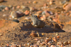 Desert hamster  at Valley of a Thousand Hills Campsite in Namibia