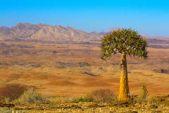 Desert landscape  and Quiver Tree at Valley of a Thousand Hills Campsite in Namibia