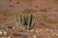 A cactus at Valley of a Thousand Hills campsite in Namibia