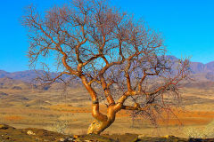 Tree in the desert at Valley of a Thousand Hills campsite in Namibia