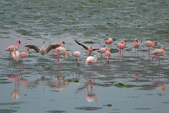 Flamingos at Walvisbay in Namibia