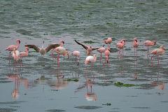 Flamingos at Walvisbay in Namibia