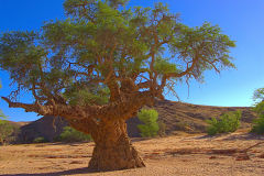 A tree with cancer in the himba region of Namibia