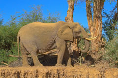 A desert elephant in the himba region of Namibia